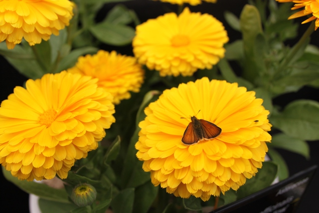 Calendula officinalis 'Candyman Yellow'