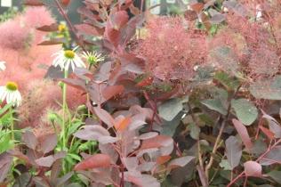 Cotinus 'Ruby Glow'