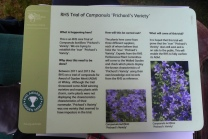 Trial of Campanula 'Prichard's Variety'