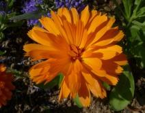Calendula officinalis 'Candyman Orange'