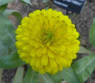 Calendula officinalis 'Candyman Yellow'