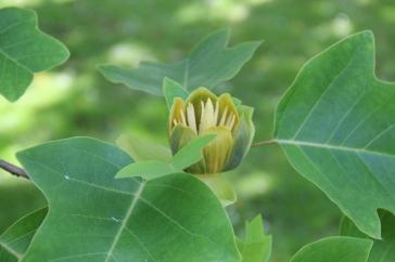 Liriodendron chinensis   Chinese Tulip Tree