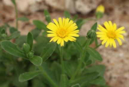 Calendula incana subsp. maritima
