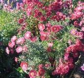 Symphotrichum novi-belgii 'Helen Ballard'