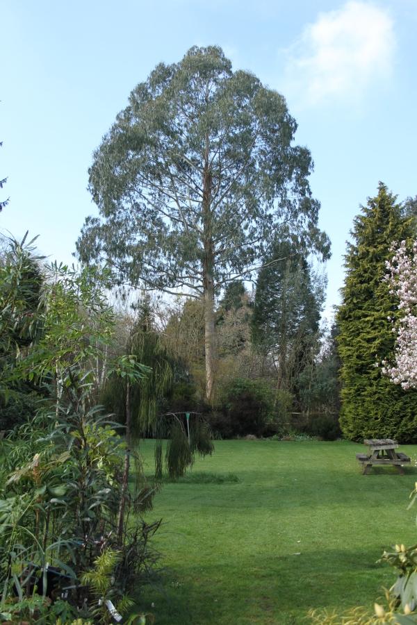 Eucalyptus vista