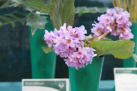 2 Bergenia ciliata x crassifolia
