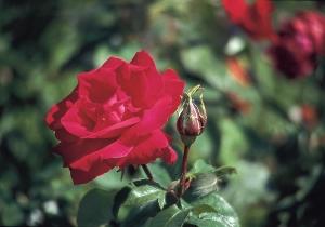 Rosa 'Etoile de Holland'