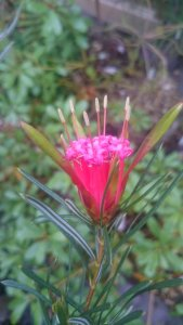 Image: Lambertia formosa, mountain devil. © Ben Ram