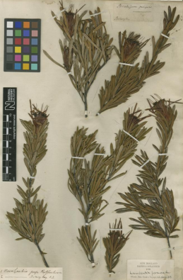 The original 1770 Joseph Banks specimen in the Herbarium of the Natural History Museum ©JSTOR www.jstor.org