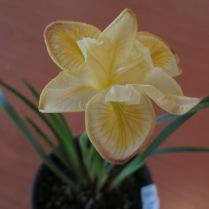 Iris ' Little Tilgates'