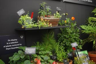 'Little Beeswing' in the Plant Heritage display at RHS Hampton Court Palace Flower Show