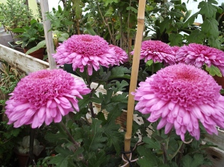 Chrysanthemum 'Elspeth' Photo: Judy Barker