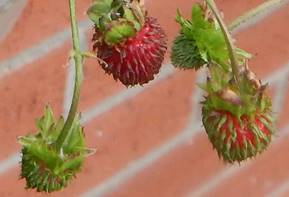 Fruit of F v var muricata - cc polemonium.co.uk.cropped