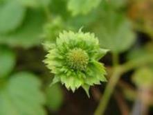 Fragaria vesca var muricata - flower.med
