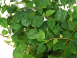 Ficus pumila 'Minima'