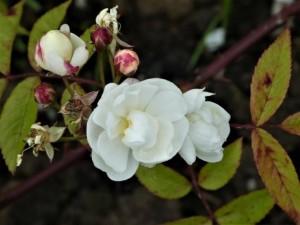 Rosa 'Lime Kiln' 2 cc A. Penny