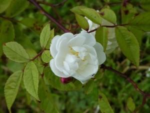 Rosa 'Lime Kiln' cc A. Penny