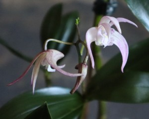 This image has an empty alt attribute; its file name is dendrobium-ellen.jpg